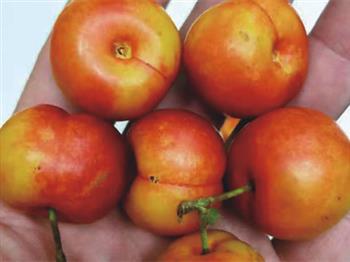橙珍珠钙果