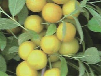杏黄三变黄钙果