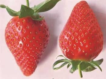 妙香7号草莓