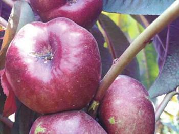 红叶紫油潘