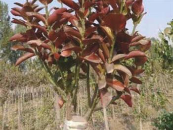 四季冬红黄杨