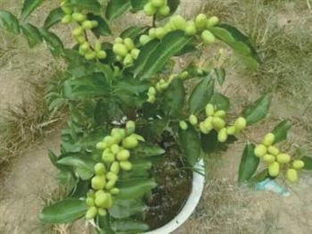 盆栽观赏枣