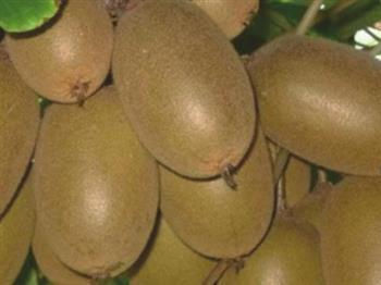 金桃猕猴桃