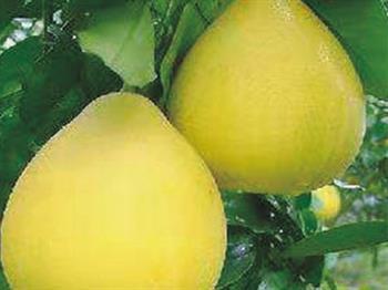 台湾超甜糖柚